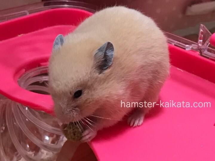 キンクマ(ゴールデンハムスター属)がエサを食べている