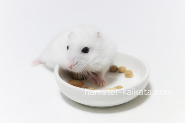 餌入れでエサを食べるハムスター
