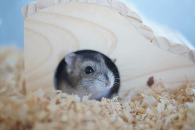 ハムスターが木の家(巣箱・隠れ家)に入っている
