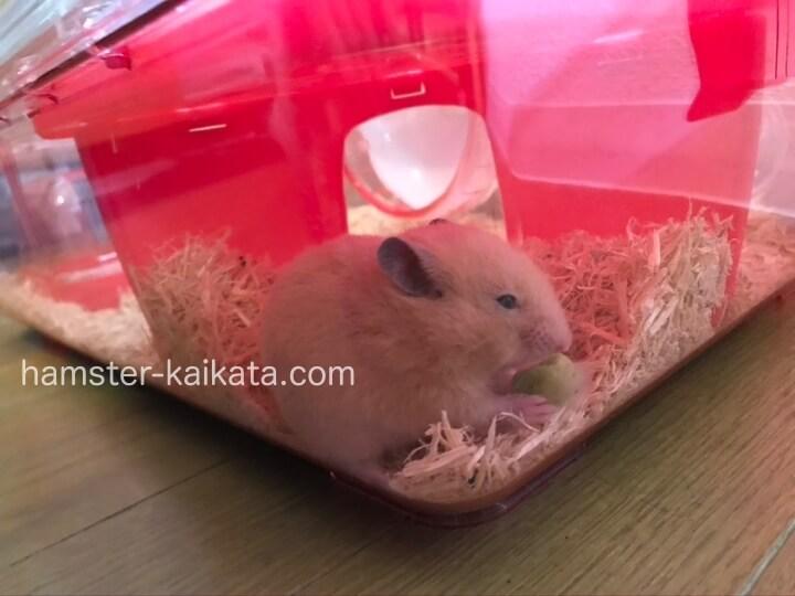 ゴールデンハムスター(キンクマ)がプラスチックの家(巣箱・隠れ家)で餌を食べている
