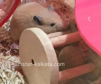 ゴールデンハムスター(キンクマ)がかじり木を噛んでいる