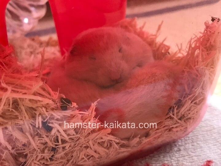 家(巣箱)で寝ているハムスターの横にフンやエサがある